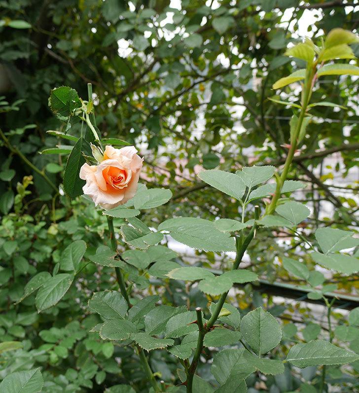 アプリコットキャンディ(木立バラ)の秋花が咲いた。2018年-4.jpg