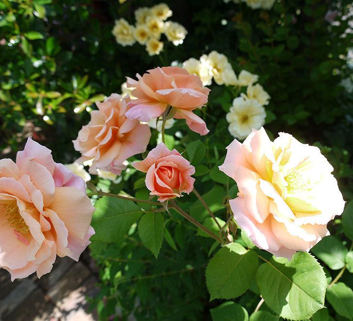 アプリコットキャンディ(木立バラ)の花がたくさん咲いた。2017年-1.jpg