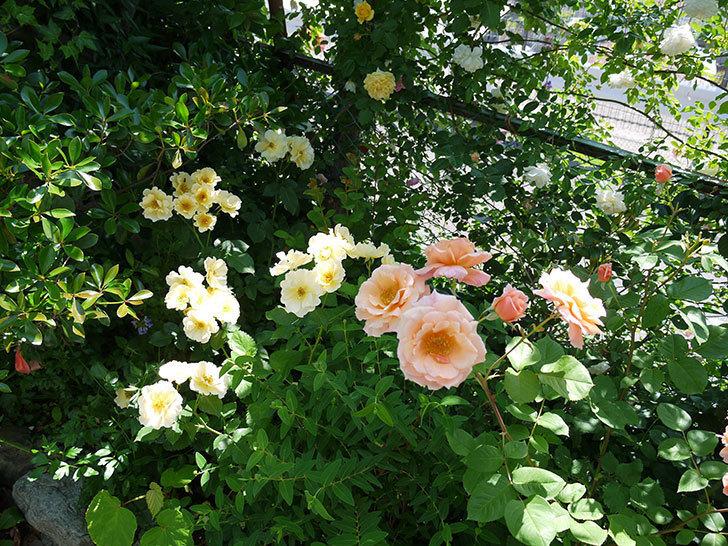 アプリコットキャンディ(木立バラ)の花がたくさん咲いた。2017年-13.jpg