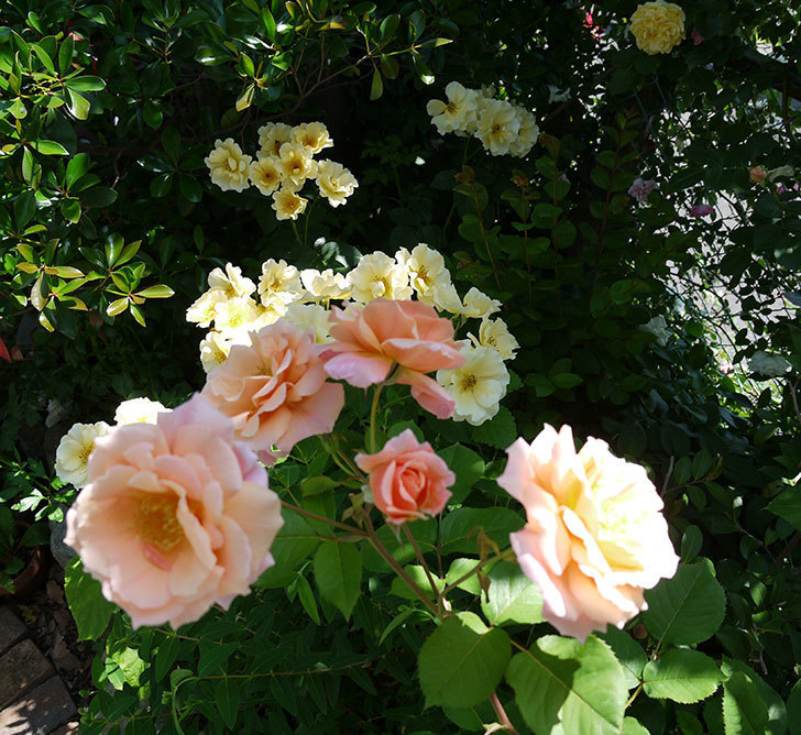 アプリコットキャンディ(木立バラ)の花がたくさん咲いた。2017年-5.jpg