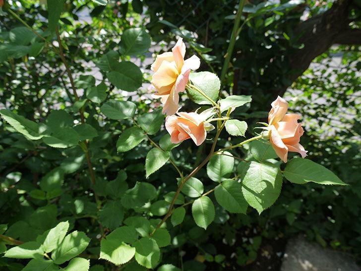 アプリコットキャンディ(木立バラ)の花がたくさん咲いた。2017年-7.jpg