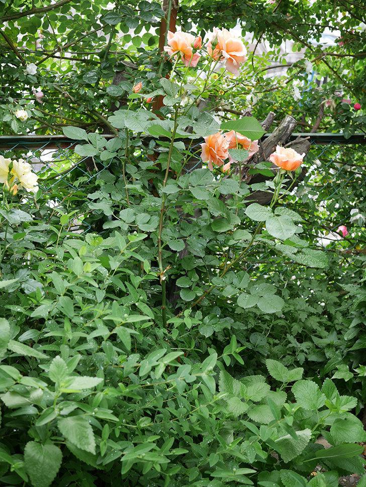 アプリコットキャンディ(木立バラ)の花がたくさん咲いた。2018年-10.jpg