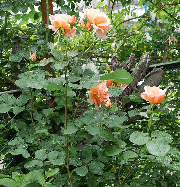 アプリコットキャンディ(木立バラ)の花がたくさん咲いた。2018年-2.jpg