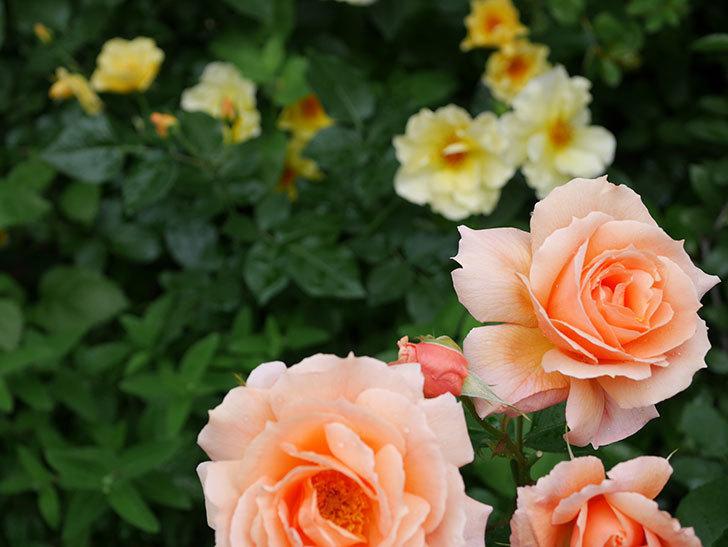 アプリコットキャンディ(木立バラ)の花がたくさん咲いた。2018年-6.jpg