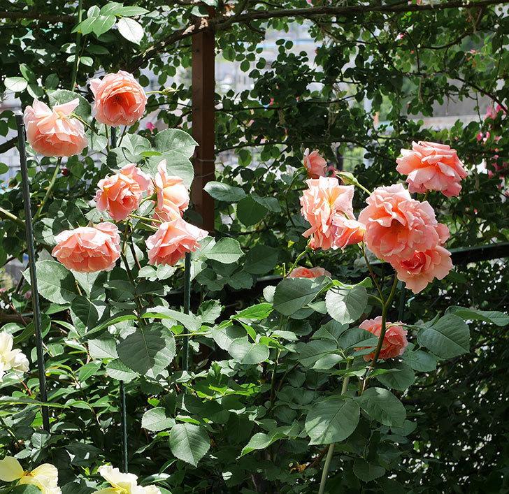 アプリコットキャンディ(木立バラ)の花がたくさん咲いた。2019年-1.jpg