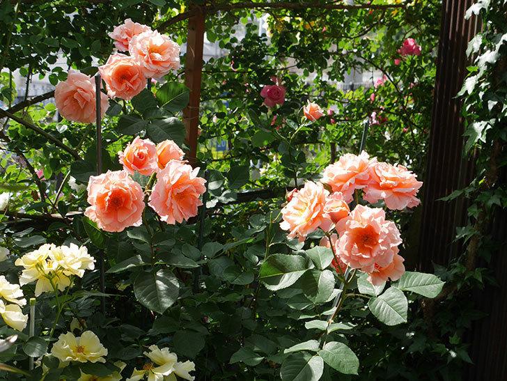 アプリコットキャンディ(木立バラ)の花がたくさん咲いた。2019年-4.jpg