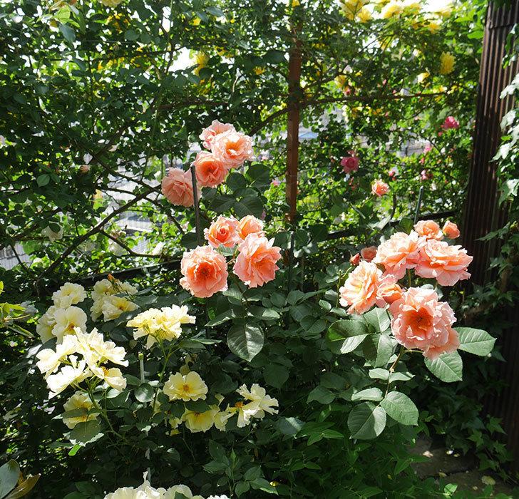 アプリコットキャンディ(木立バラ)の花がたくさん咲いた。2019年-5.jpg