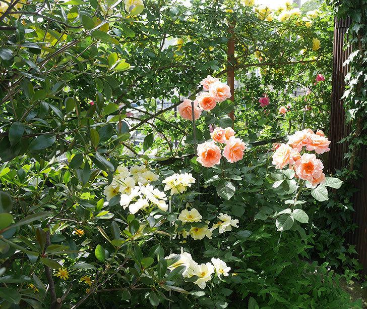 アプリコットキャンディ(木立バラ)の花がたくさん咲いた。2019年-6.jpg
