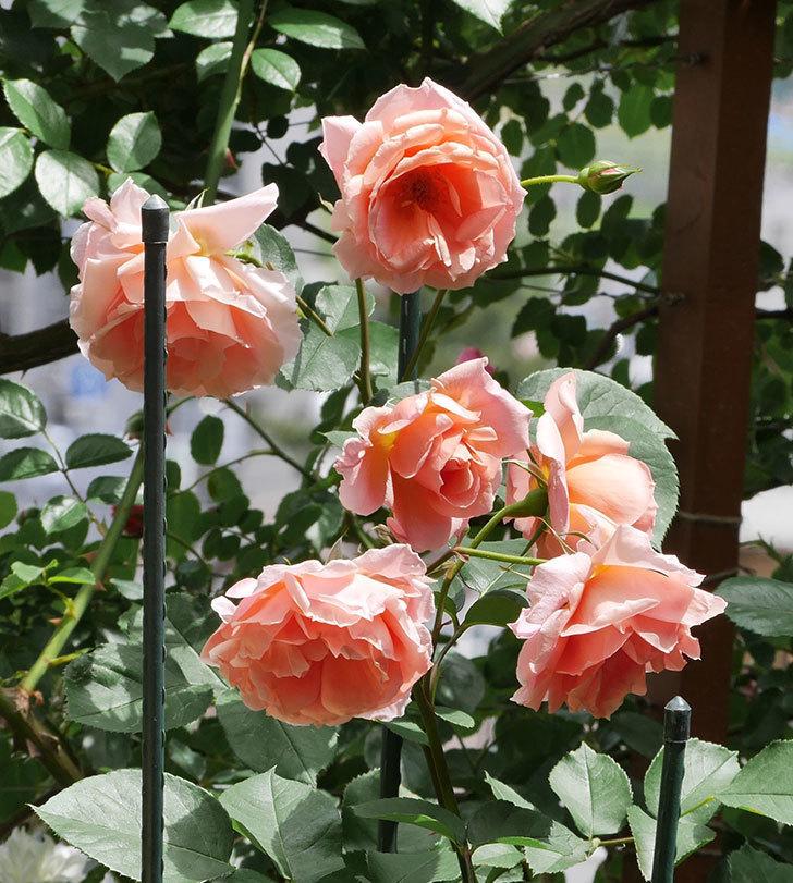 アプリコットキャンディ(木立バラ)の花がたくさん咲いた。2019年-7.jpg