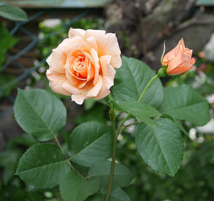 アプリコットキャンディ(木立バラ)の花がまた咲いた。2018年-1.jpg