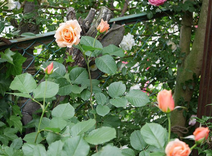アプリコットキャンディ(木立バラ)の花がまた咲いた。2018年-6.jpg