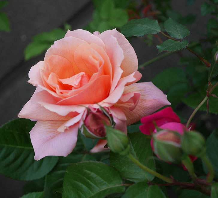 アプリコットキャンディ(木立バラ)の花がまた咲いた。2020年-1.jpg