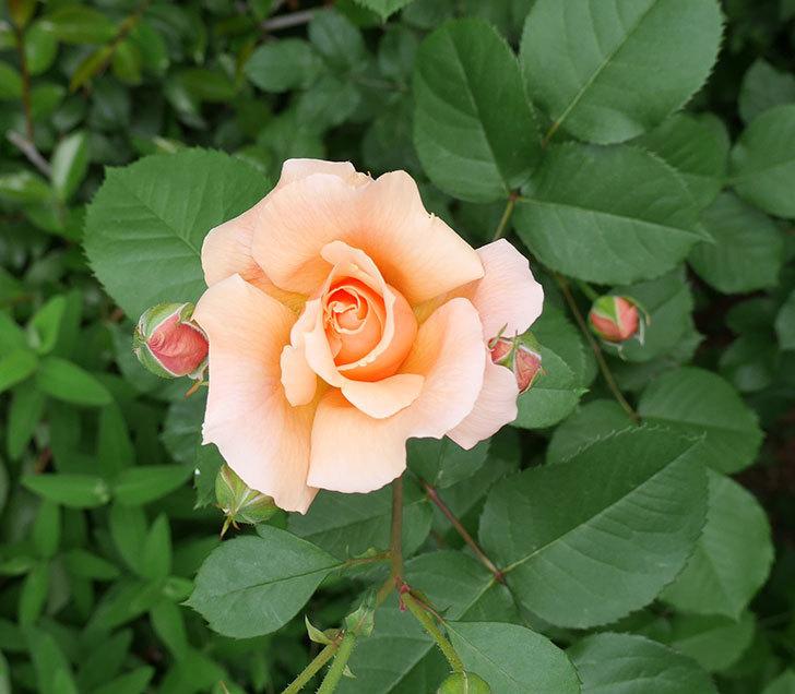 アプリコットキャンディ(木立バラ)の花が咲いた。2018年-1.jpg