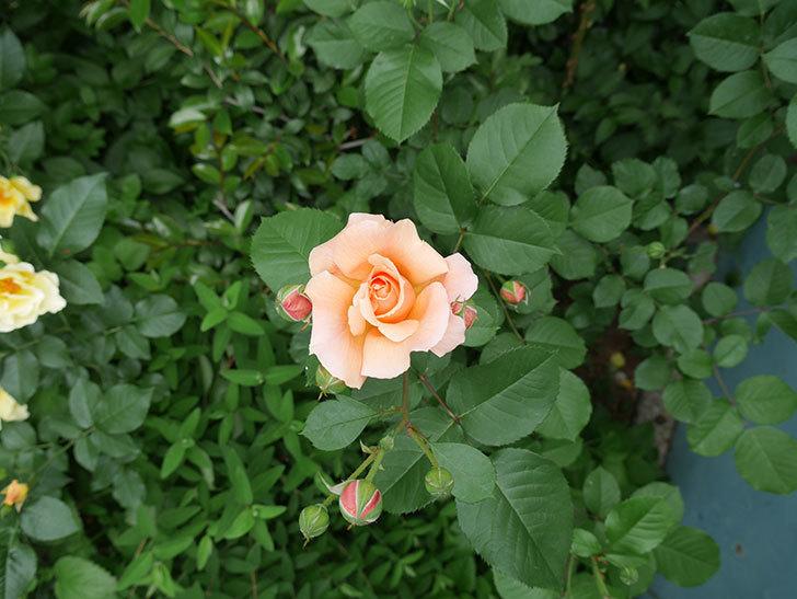 アプリコットキャンディ(木立バラ)の花が咲いた。2018年-2.jpg