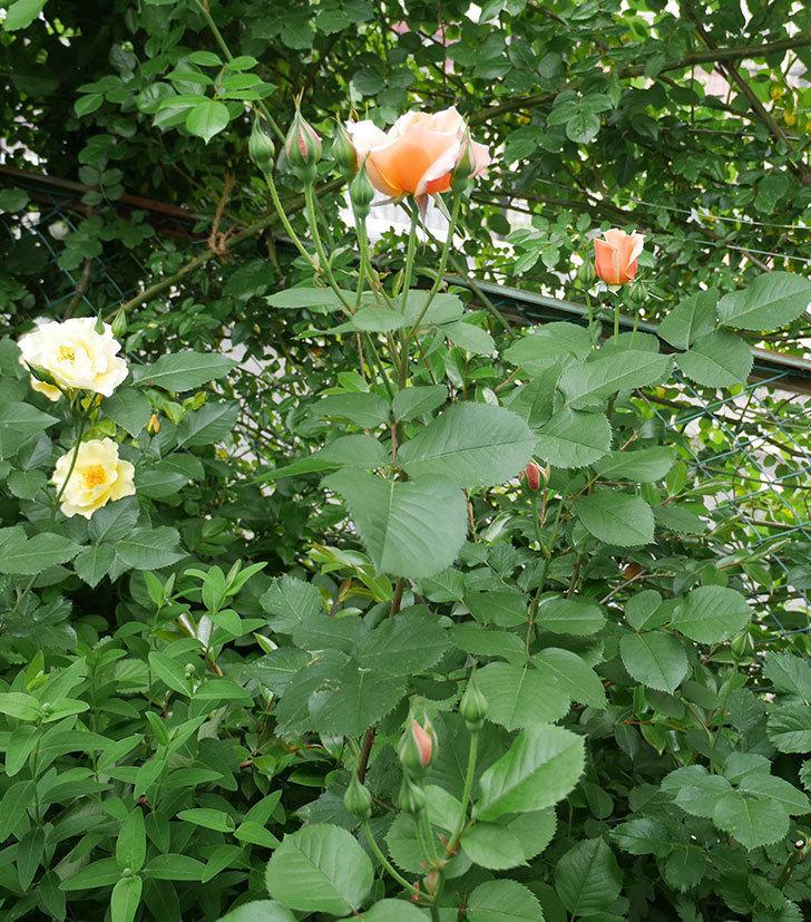 アプリコットキャンディ(木立バラ)の花が咲いた。2018年-4.jpg