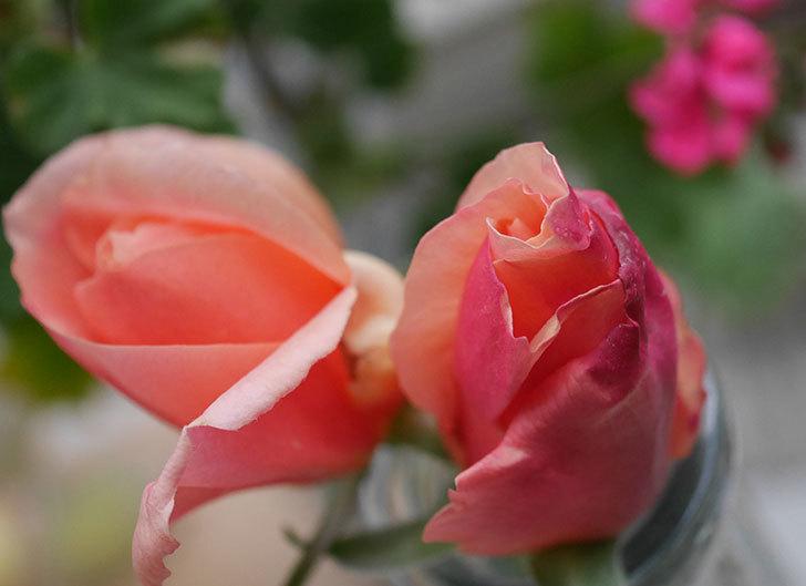 アプリコットキャンディ(木立バラ)の花が咲きだした。2020年-2.jpg