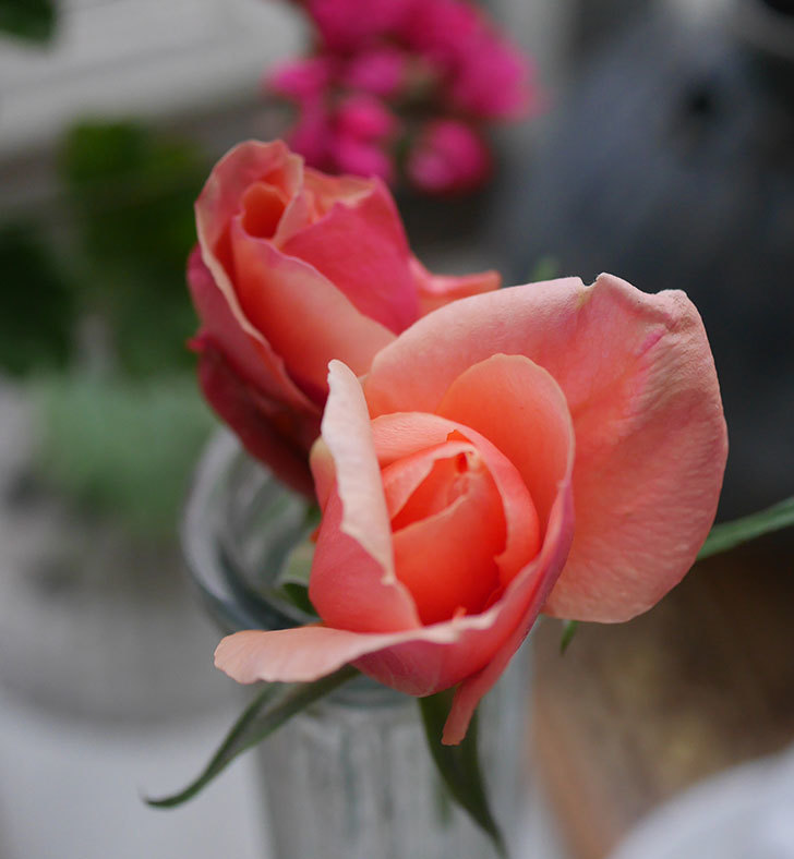 アプリコットキャンディ(木立バラ)の花が咲きだした。2020年-3.jpg
