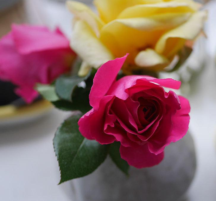 アプリコットキャンディ(木立バラ)の花が咲きだした。2020年-9.jpg