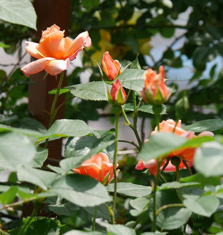 アプリコットキャンディ(木立バラ)の花が増えて来た。2019年-2.jpg