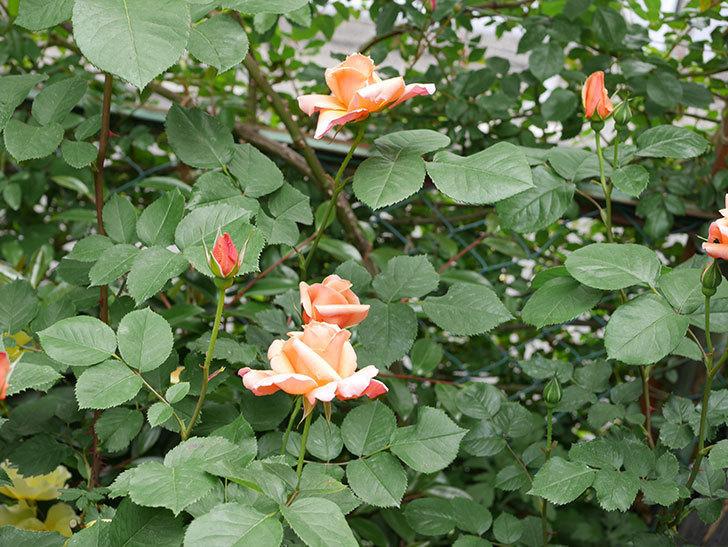 アプリコットキャンディ(木立バラ)の花が増えて来た。2019年-20.jpg