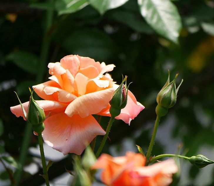 アプリコットキャンディ(木立バラ)の花が増えて来た。2019年-3.jpg