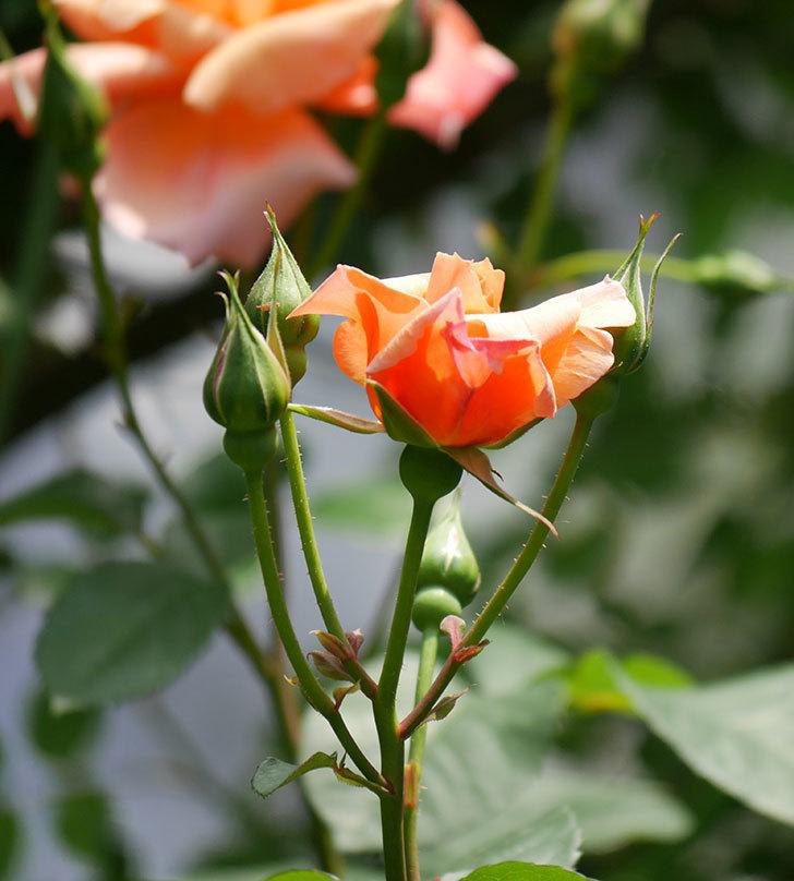 アプリコットキャンディ(木立バラ)の花が増えて来た。2019年-4.jpg