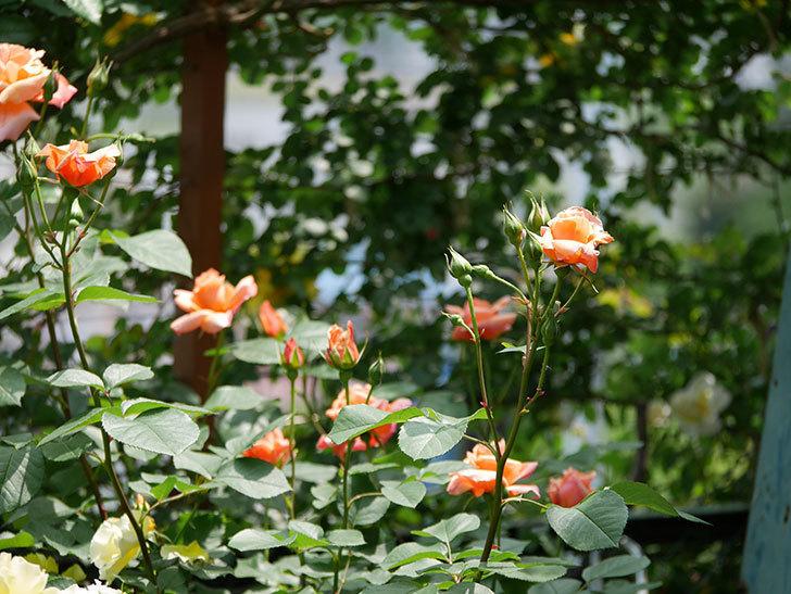 アプリコットキャンディ(木立バラ)の花が増えて来た。2019年-6.jpg
