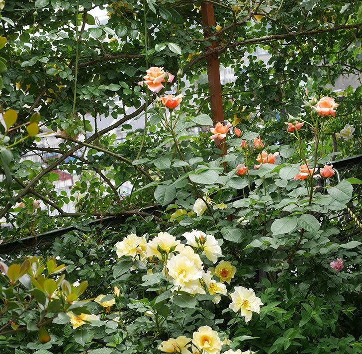 アプリコットキャンディ(木立バラ)の花が増えて来た。2019年-8.jpg