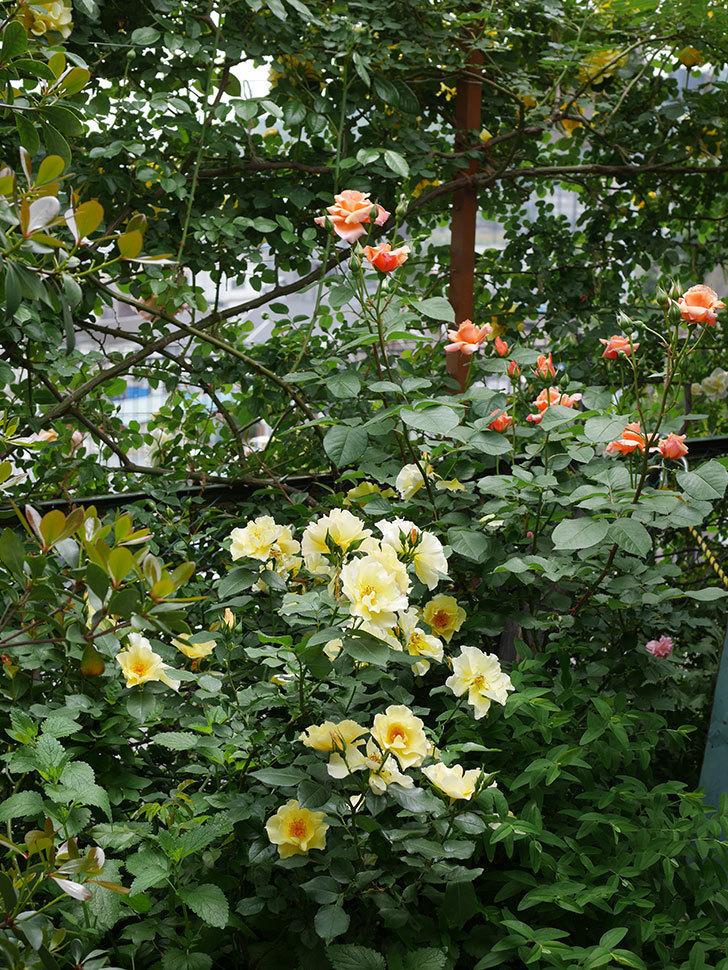 アプリコットキャンディ(木立バラ)の花が増えて来た。2019年-9.jpg