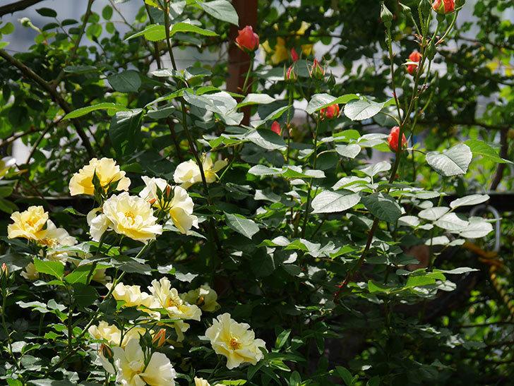 アプリコットキャンディ(木立バラ)の花が少し咲いた。2019年-10.jpg
