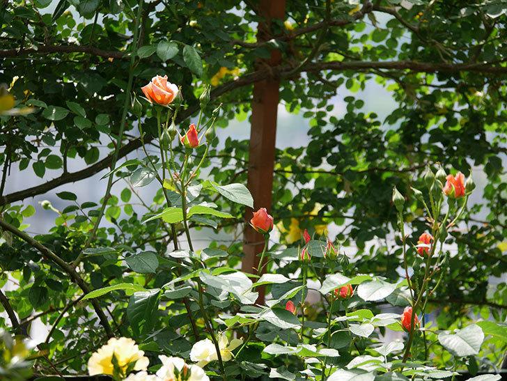 アプリコットキャンディ(木立バラ)の花が少し咲いた。2019年-11.jpg