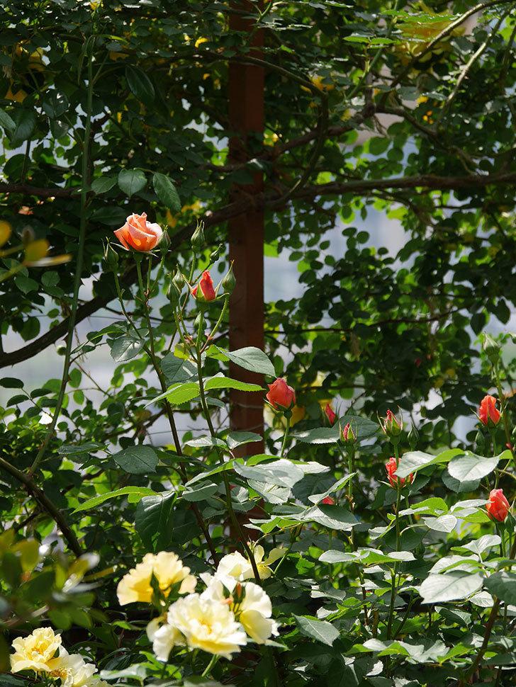 アプリコットキャンディ(木立バラ)の花が少し咲いた。2019年-12.jpg