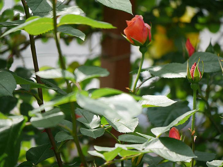 アプリコットキャンディ(木立バラ)の花が少し咲いた。2019年-13.jpg