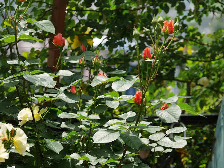 アプリコットキャンディ(木立バラ)の花が少し咲いた。2019年-15.jpg