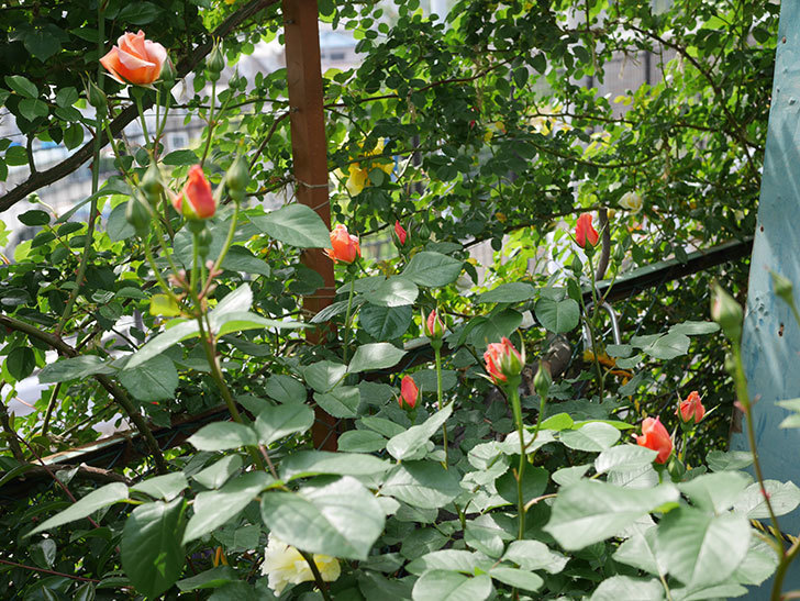 アプリコットキャンディ(木立バラ)の花が少し咲いた。2019年-2.jpg