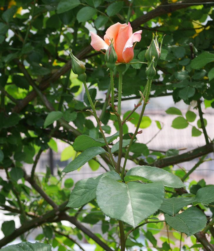アプリコットキャンディ(木立バラ)の花が少し咲いた。2019年-5.jpg