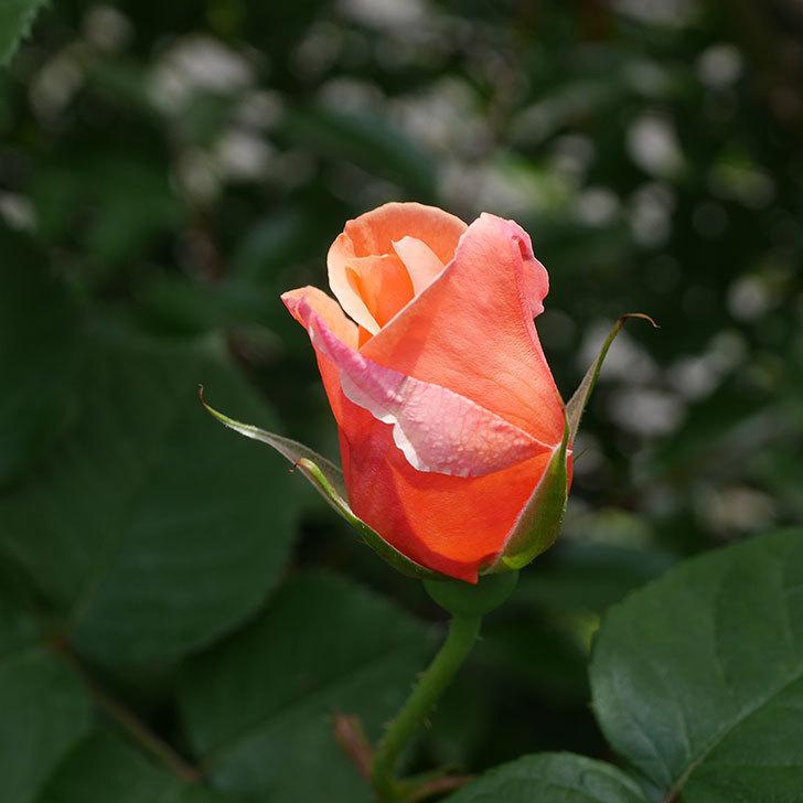 アプリコットキャンディ(木立バラ)の花が少し咲いた。2019年-6.jpg