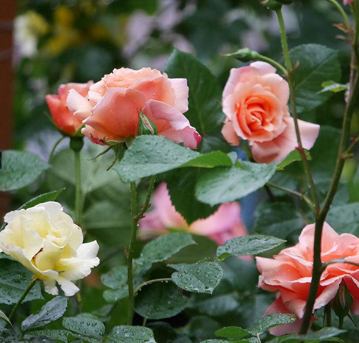 アプリコットキャンディ(木立バラ)の花が雨の中たくさん咲いた。2019年-10.jpg