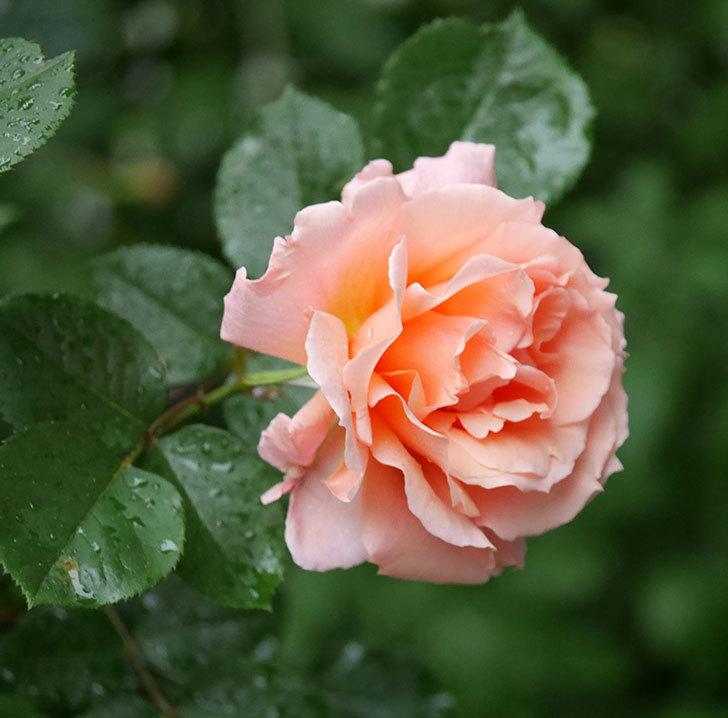 アプリコットキャンディ(木立バラ)の花が雨の中たくさん咲いた。2019年-12.jpg