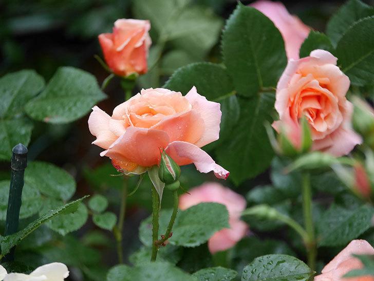 アプリコットキャンディ(木立バラ)の花が雨の中たくさん咲いた。2019年-14.jpg