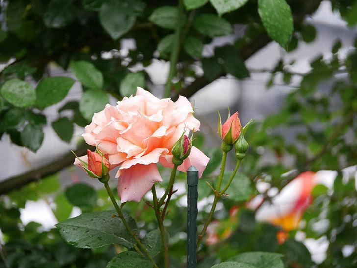アプリコットキャンディ(木立バラ)の花が雨の中たくさん咲いた。2019年-15.jpg