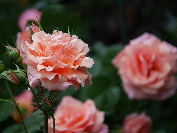 アプリコットキャンディ(木立バラ)の花が雨の中たくさん咲いた。2019年-16.jpg