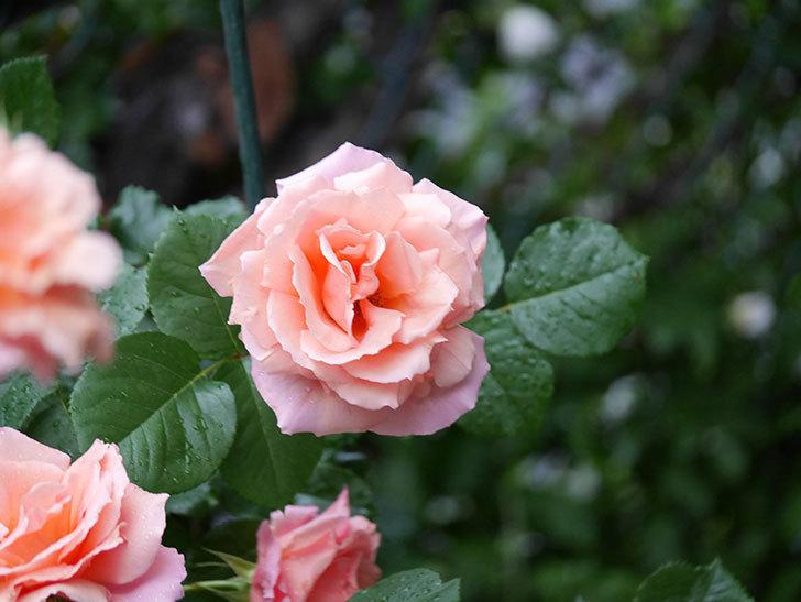アプリコットキャンディ(木立バラ)の花が雨の中たくさん咲いた。2019年-17.jpg