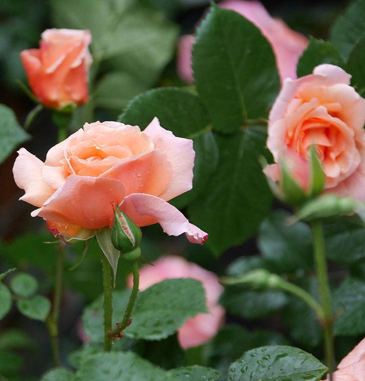 アプリコットキャンディ(木立バラ)の花が雨の中たくさん咲いた。2019年-18.jpg