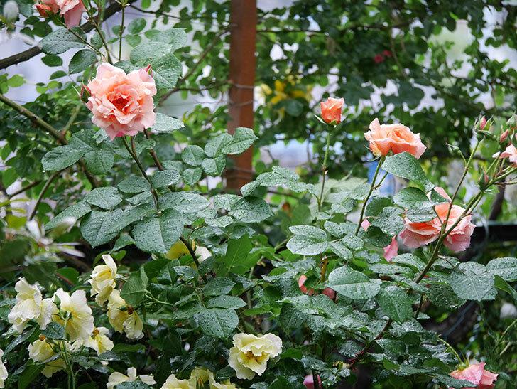 アプリコットキャンディ(木立バラ)の花が雨の中たくさん咲いた。2019年-19.jpg
