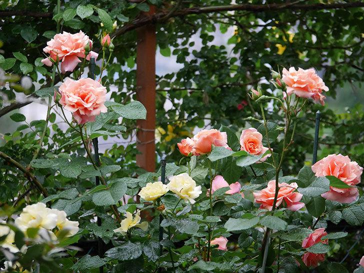 アプリコットキャンディ(木立バラ)の花が雨の中たくさん咲いた。2019年-2.jpg