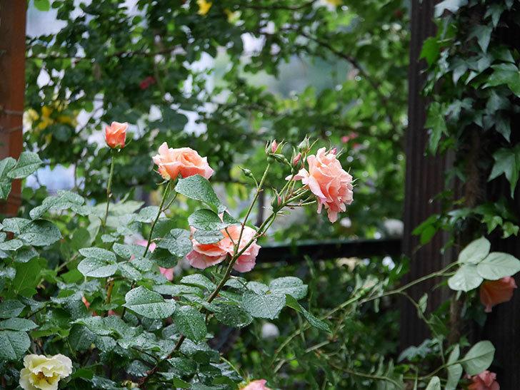 アプリコットキャンディ(木立バラ)の花が雨の中たくさん咲いた。2019年-20.jpg