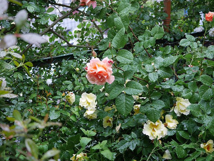 アプリコットキャンディ(木立バラ)の花が雨の中たくさん咲いた。2019年-21.jpg