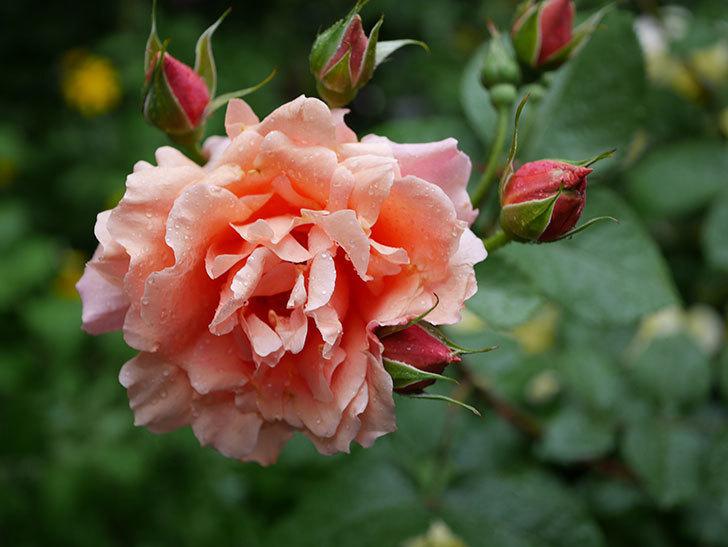 アプリコットキャンディ(木立バラ)の花が雨の中たくさん咲いた。2019年-22.jpg