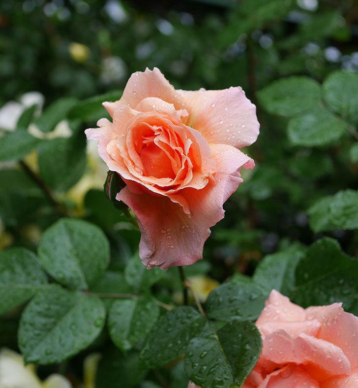 アプリコットキャンディ(木立バラ)の花が雨の中たくさん咲いた。2019年-23.jpg